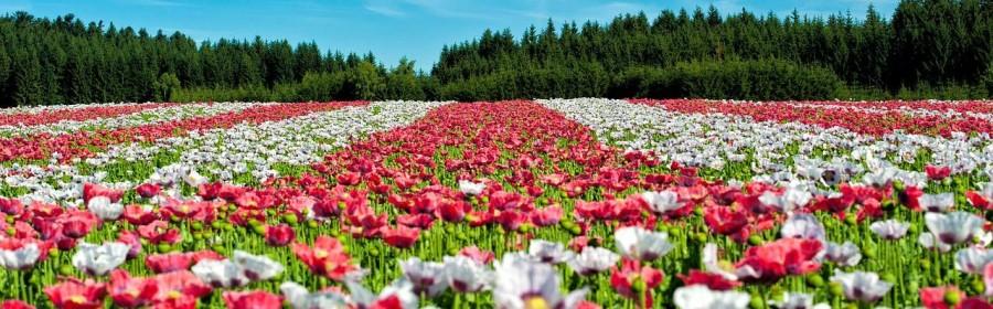 Blumen als Geschenk